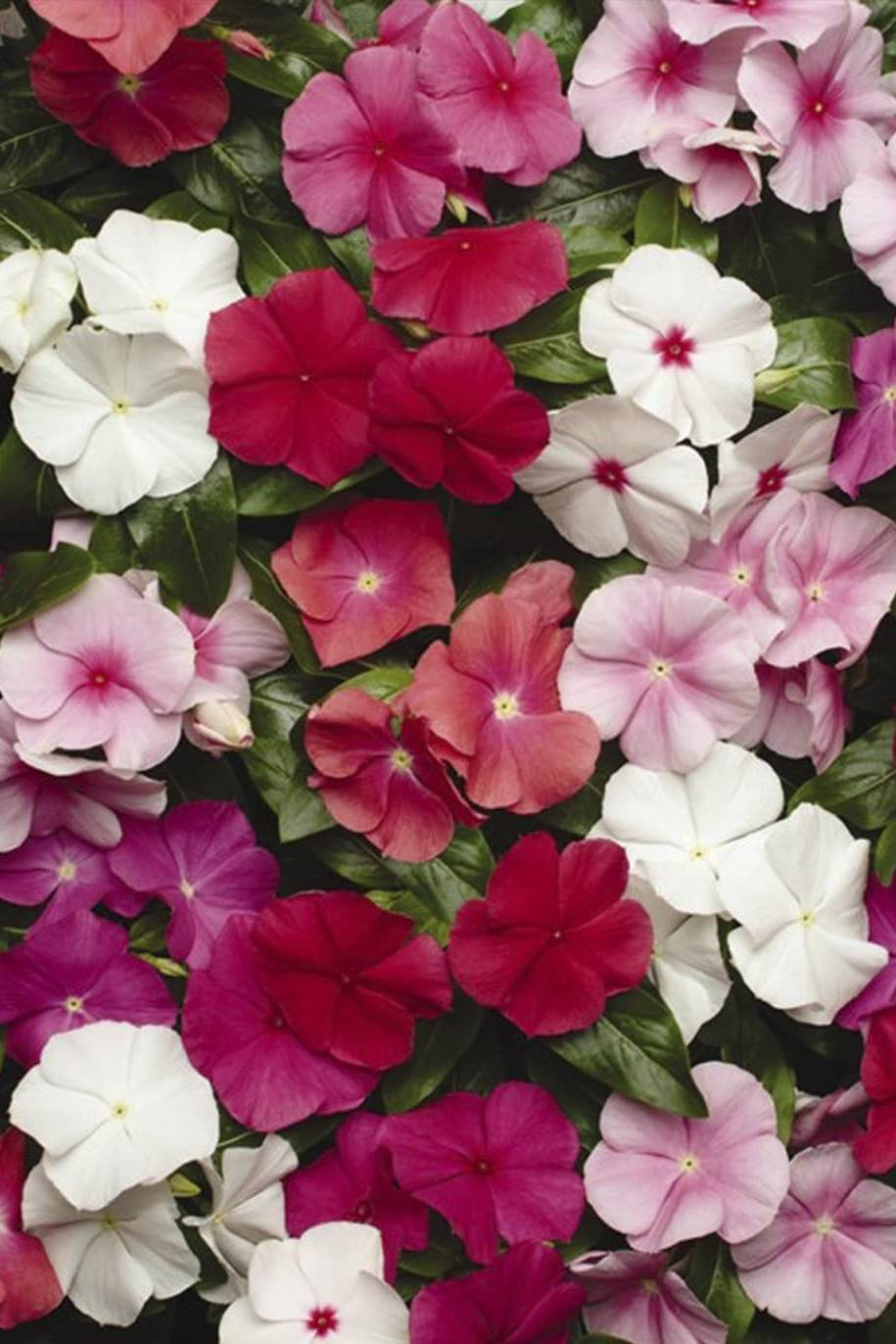 Vinca Mix Color Seeds