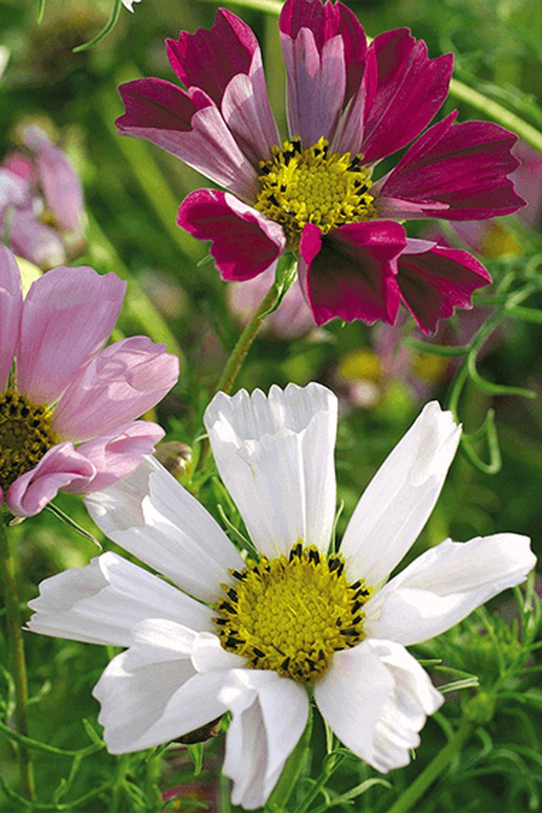 Cosmos Mix color Seeds