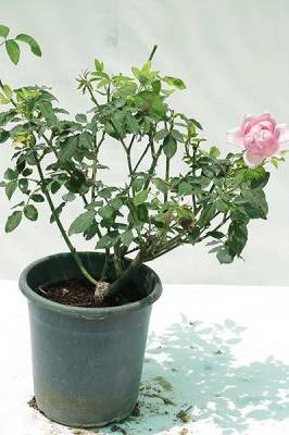 Rose Outdoor (Pink)